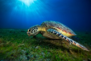 Green turtle by 1x