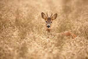 Deer in the field by 1x