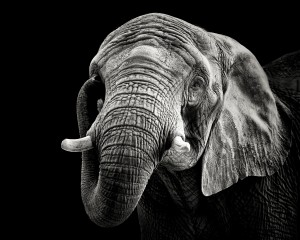 African Elephant by 1x