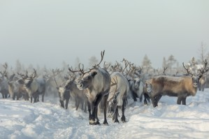 Reindeers by 1x