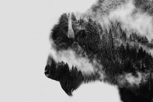 Bison by 1x