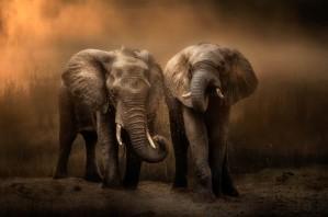 Elephants dust bath... by 1x