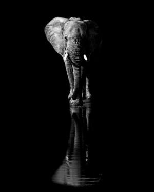 Elephant by 1x