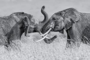 Elephant qTai Chiq by 1x