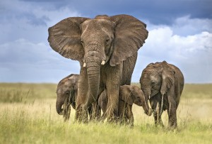 Elephant mom protecting her calves by 1x