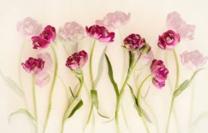 Tulips by 1x