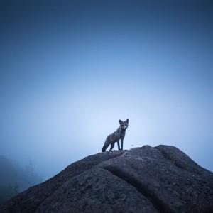 The fox by Alex Bihlo