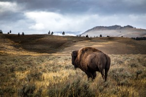 Stormy Bison by Chris Stahl Photography