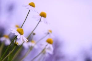 Chamomile in spring by Codrina Miculit