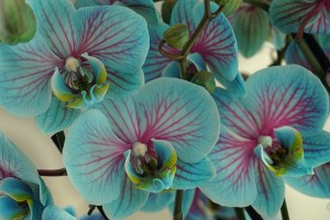 Orchid vibrant by CozyIcon