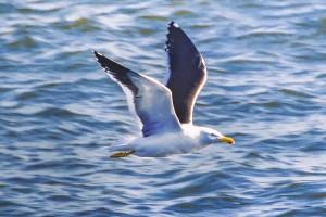 SeagullFlyingOverSeaMontevideoUruguay by Daniel Ferreia Leites Ciccarino