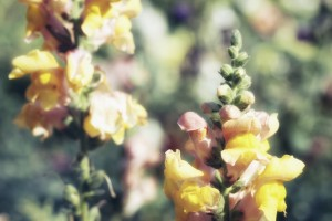 Lupinus Luteus Yellow by Ira Silence