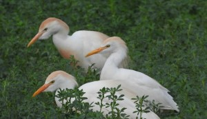 Cattle Egrets by J  Jasmyn Phillips