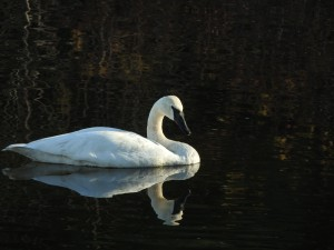 Trumpeter Swan at Estuary by J  Jasmyn Phillips