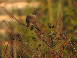 Sparrow on Wild Rose  by J  Jasmyn Phillips