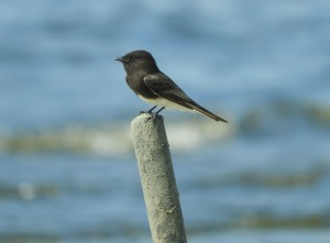 Black  Phoebe by J  Jasmyn Phillips
