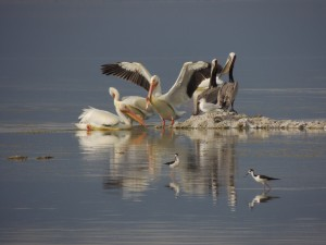 Pelican Reflections by J  Jasmyn Phillips