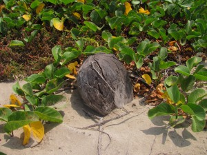 Coconut in the Sand by J  Jasmyn Phillips