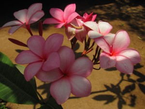 Pink Plumeria 2 by J  Jasmyn Phillips