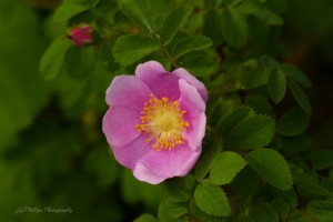 Nootka Rose by J  Jasmyn Phillips