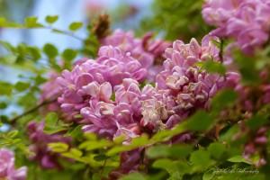 Rose Acacia  by J  Jasmyn Phillips
