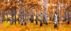 Birch Trees Autumn  by Jane Dobbs