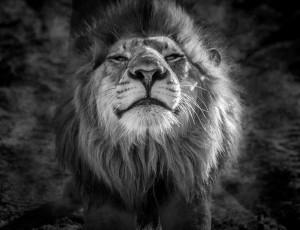 LionKiss by Jane Dobbs