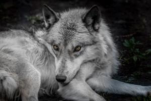 WolfDog by Jane Dobbs