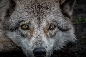 WolfDog2 by Jane Dobbs