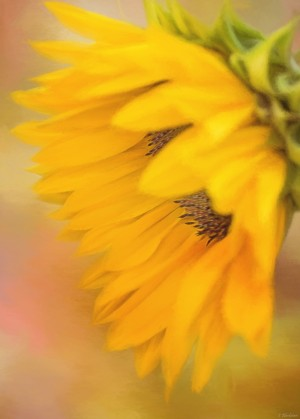 Bring Sunshine - Sunflower Art by Jordan Blackstone by Jordan Blackstone