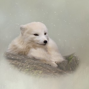 Daring The Soul - Arctic Fox Art by Jordan Blackstone by Jordan Blackstone