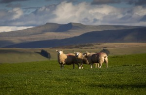Sheep on the Brecon Beacons by Leighton Collins