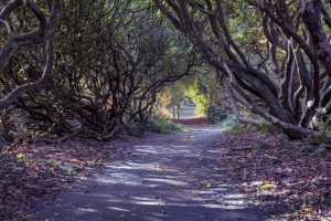 Tree lined Rhododendron walkway by Leighton Collins