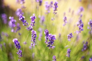 Lavender flowers by Levente Bodo