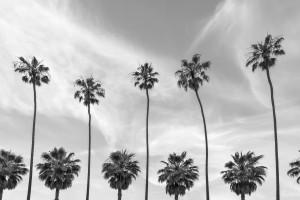 Palm Trees in La Jolla California | monochrome by Melanie Viola