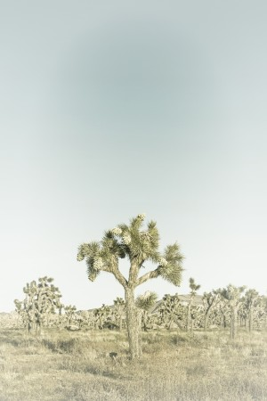 Joshua Tree | Vintage by Melanie Viola