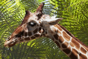 Giraffe with Palms by Wallshazam