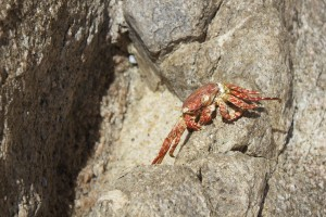 The little Red Crab by Wallshazam