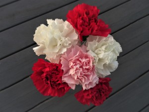 Carnations by by Tara
