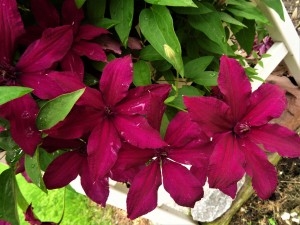 Rouge Cardinal Clematis by by Tara