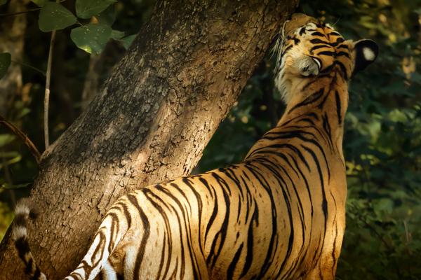 Indian Tiger by Alain Beaudouard