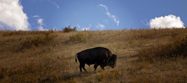 Bison by Amanda Corcoran