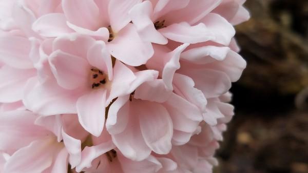 Hyacinth Dream by Amy Joy Elizabeth Pearl