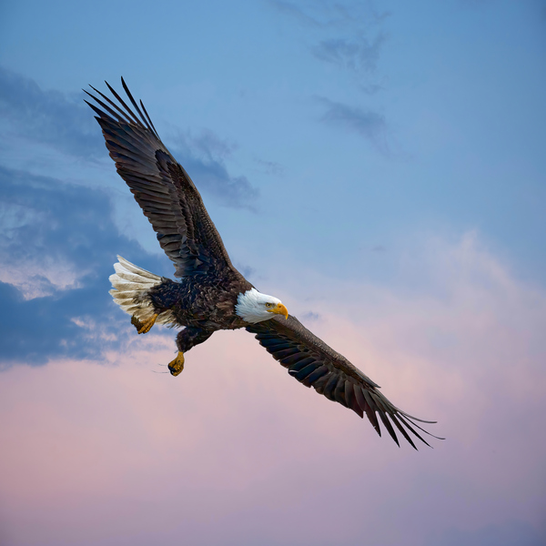 Soaring Eagle by Andrew Wasik