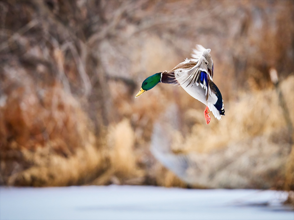 Landing Mallard by Andrew Wasik