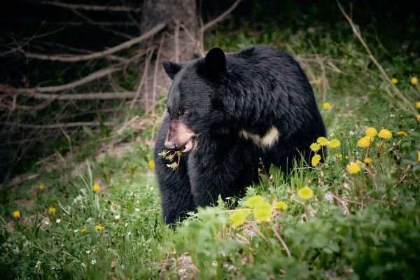 Black Bear by Andrew Wasik