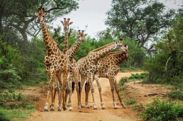giraffes by Andrew Wasik
