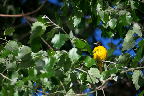 Baltimore oriole pose in bush by Andy LeBlanc