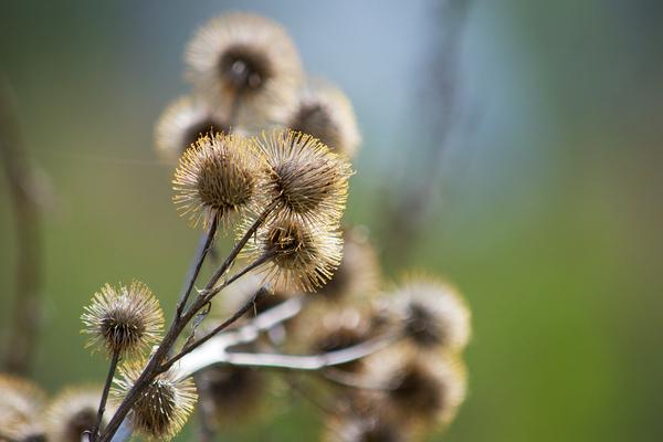 Burdock Bouquet by Andy LeBlanc