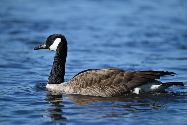 Canada Goose on water by Andy LeBlanc